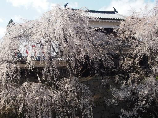 20190415・長野旅行植物桜・上田城3・大