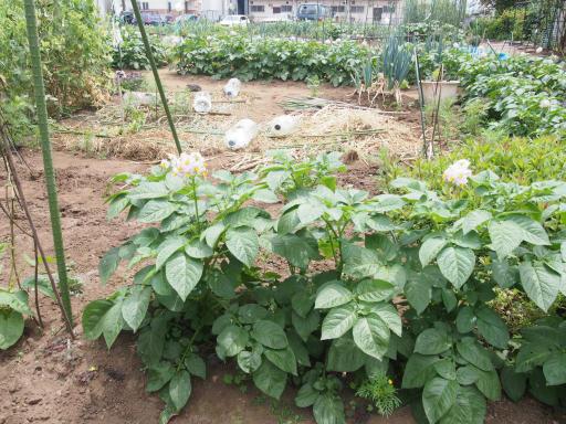 20190518・新宿中野散歩植物01・ジャガイモ