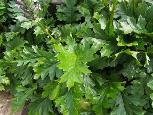 20190518・新宿中野散歩植物09-2・ハアザミの葉っぱ