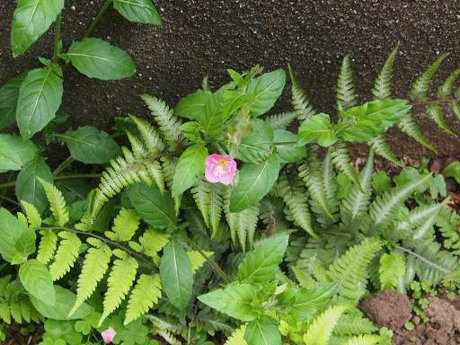 20190518・新宿中野散歩植物11・アカバナユウゲショウ