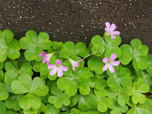 20190518・新宿中野散歩植物08・ムラサキカタバミ