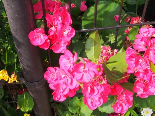 20190518・新宿中野散歩植物07・アザレア