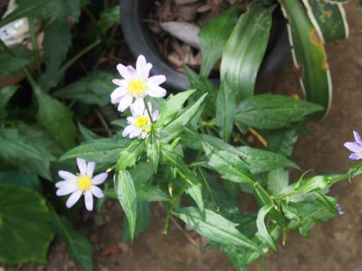 20190602・鍋倉高原旅行植物11・ミヤコワスレ(庭)