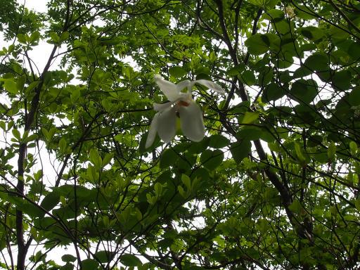 20190602・鍋倉高原旅行植物09・タムシバ