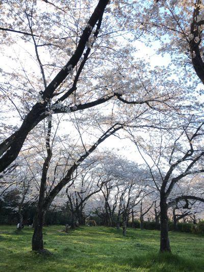 190405-桜