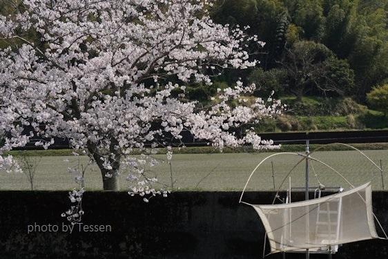 DSC03721桜