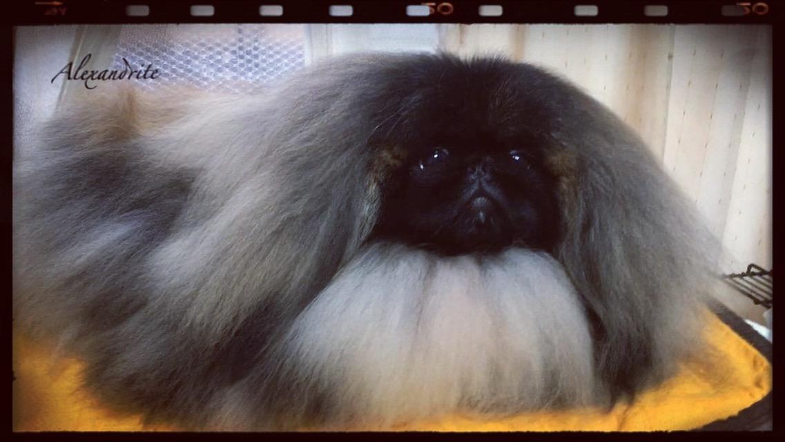 💗ペキニーズ専門犬舎ブリーダー(北海道)💗TINANEEDS BEAUTY💗 ティナニーズビューティー