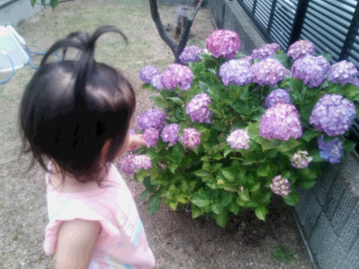 柊伽とアジサイ