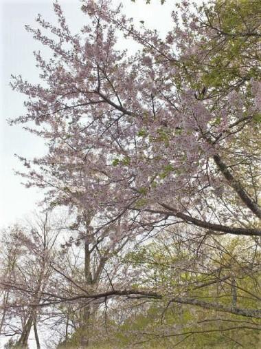 11桜開花中0503