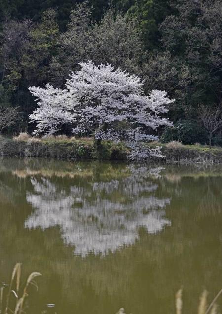 桜 DSF_4472