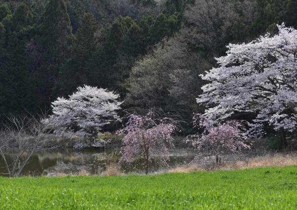 桜 DSF_4455