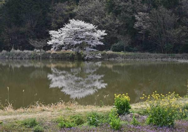 桜 DSF_4465
