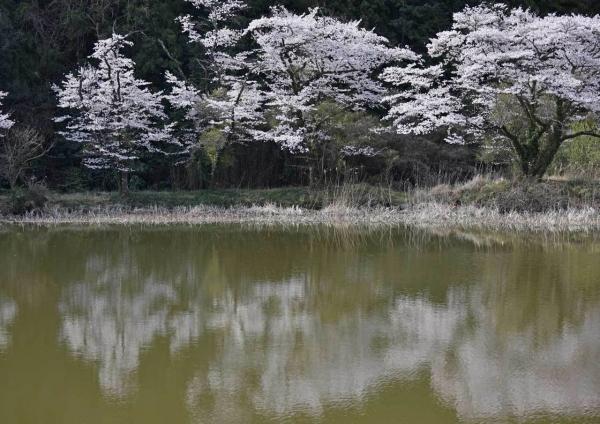 桜 DSF_4478