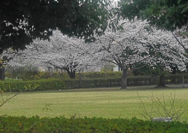 桜 DSF_4599