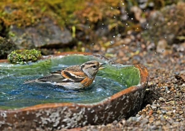 アトリ3水浴び DSJ_8549