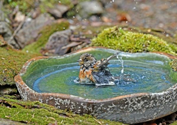 アトリ4水浴び DSL_5565