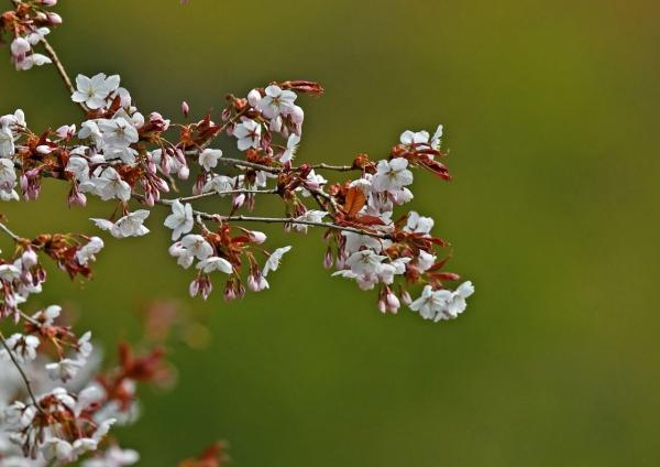 山桜 DSM_0386