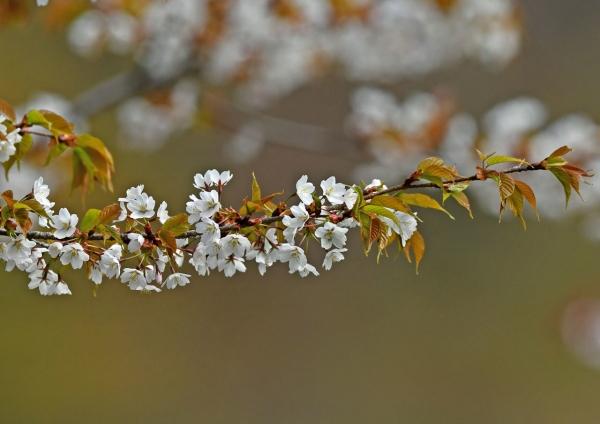 山桜 DSM_0392