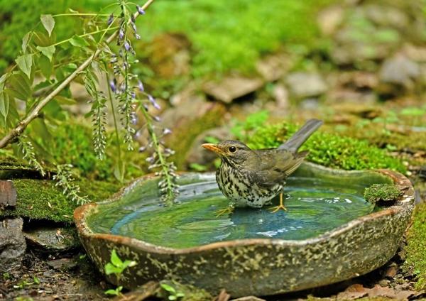 クロツグミ2雌水浴び DSM_9444