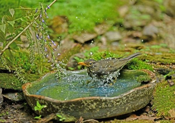 クロツグミ3雌水浴び DSM_9460
