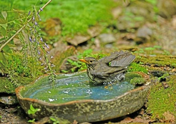 クロツグミ4雌水浴び DSM_9511