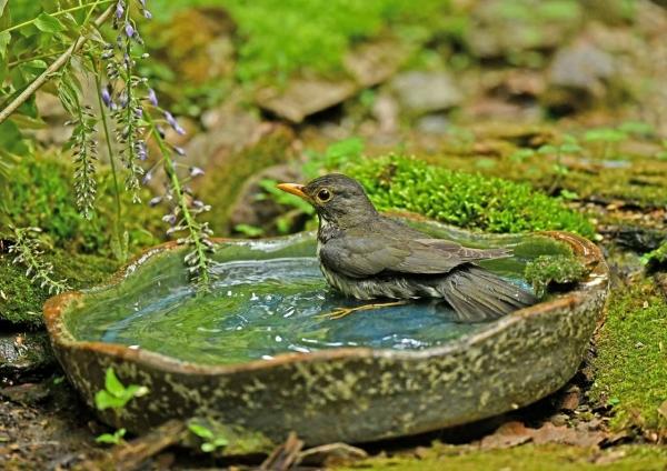 クロツグミ5雌水浴び DSM_9563