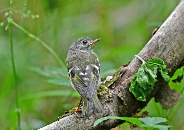 キクイタダキ幼鳥2 DSN_1151