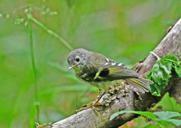 キクイタダキ幼鳥4 DSN_1127