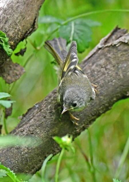 キクイタダキ幼鳥1 DSN_1203