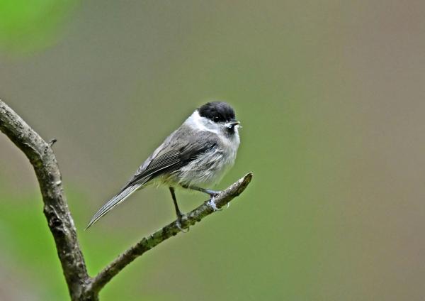 コガラ幼鳥1 DSN_1053