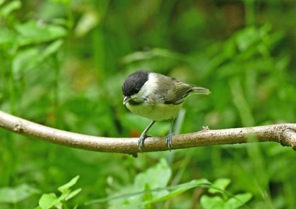 コガラ幼鳥2 DSM_8655