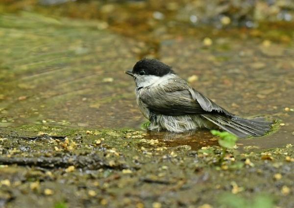 コガラ幼鳥3 DSM_8665