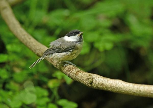 コガラ幼鳥4 DSM_7819