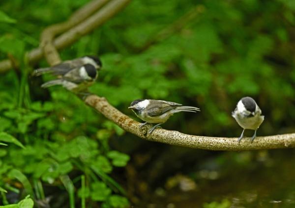 コガラ幼鳥5 DSM_7801