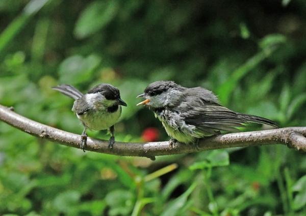 コガラ幼鳥6 DSN_1393