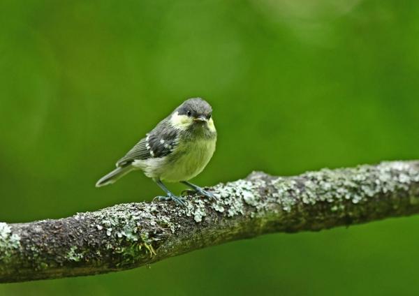 ヒガラ幼鳥1 DSM_8049