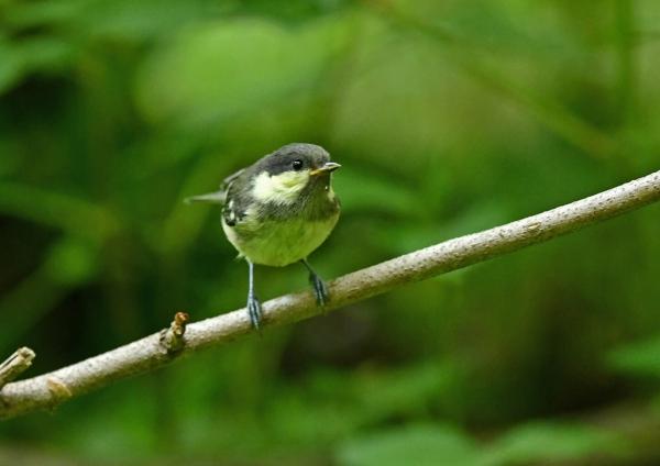 ヒガラ幼鳥2 DSM_8058