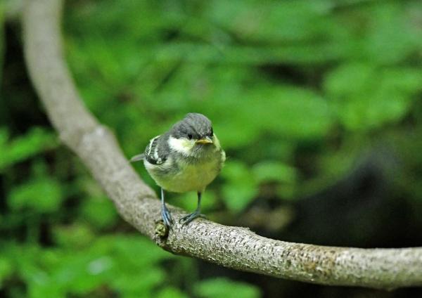 ヒガラ幼鳥3 DSM_9023