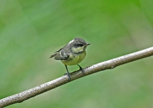 ヒガラ幼鳥4 DSM_9070