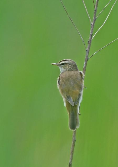 コヨシキリ6幼鳥 DSM_9868