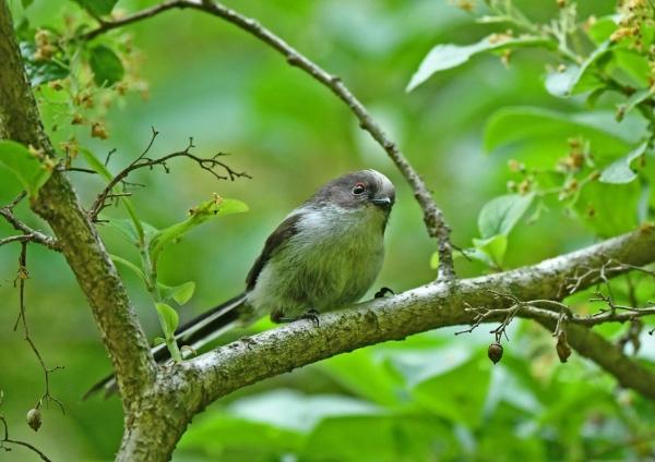 エナガ幼鳥3 DSM_8547