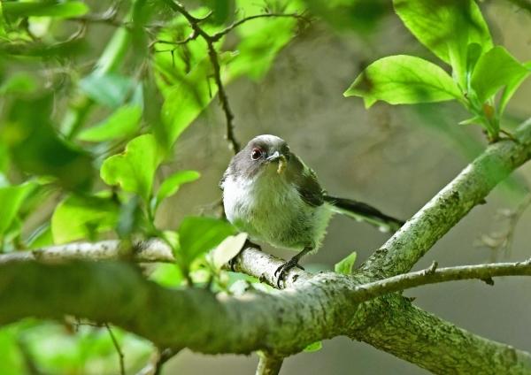 エナガ幼鳥4 DSM_8568
