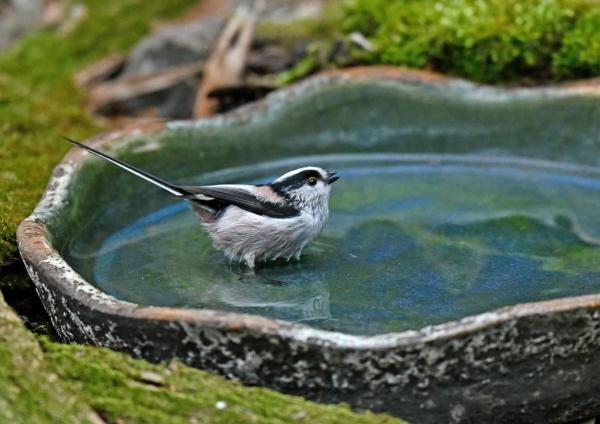 エナガ2水浴び DSK_9892