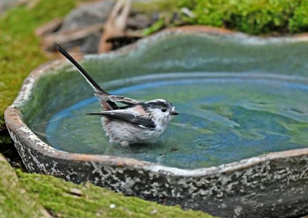エナガ3水浴び DSK_9880