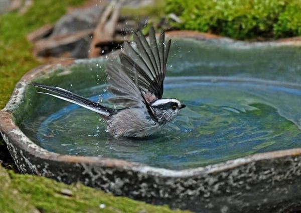 エナガ4水浴び DSK_9899
