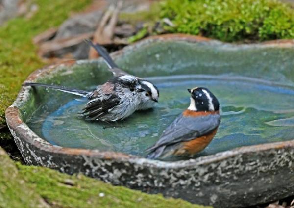 エナガ5水浴び DSK_9944