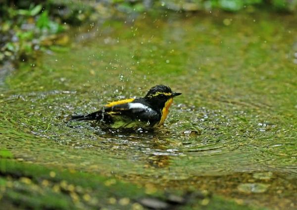 キビタキ2水浴び DSM_8137
