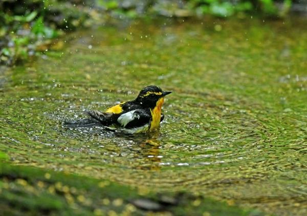 キビタキ4水浴び DSM_8139