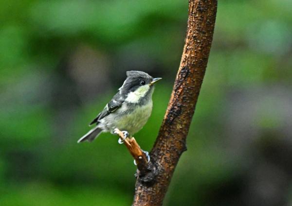 ヒガラ幼鳥 DSN_1753