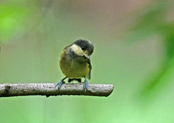 ヤマガラ幼鳥1 DSN_1658